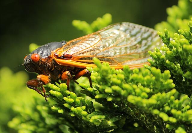 cicada-139537_640