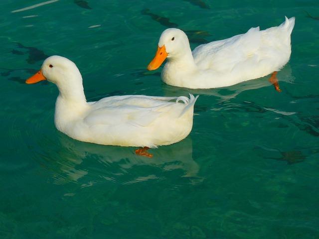 duck-15026_640